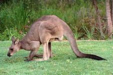 Free Kangaroo Royalty Free Stock Image - 7966846