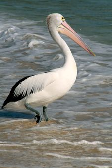 Free Pelican Stock Images - 7966974
