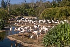 Free White Flamingoes On An S Curve Stock Photography - 7967222
