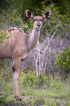 Free Female Kudu Royalty Free Stock Image - 7967336