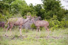 Kudu Mother Stock Photo