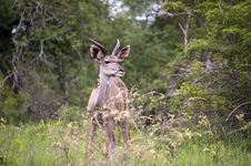 Free Young Male Kudu Royalty Free Stock Photography - 7967407