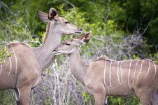 Kudu Mother Stock Image