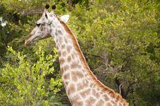 Free Giraffe Stock Image - 7967511