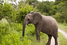 Free Elephant In Kruger Park Stock Image - 7967531