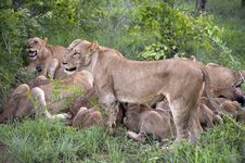 Free Lion Family Eating Their Prey Stock Photo - 7967710
