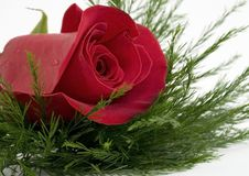 Free Red Rose Stock Photo - 7968550