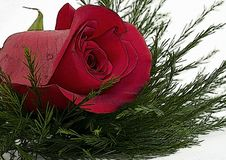 Free Red Rose Stock Photo - 7969300