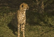 Free Cheetah In The Grass Royalty Free Stock Photo - 7969445