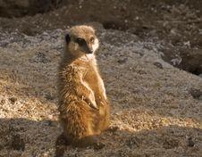 Free Meerkat Stock Photo - 7969470