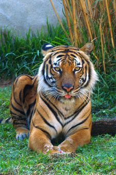 Orange Tiger Sitting Stock Photos