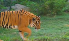 Orange Tiger Walking Royalty Free Stock Photo