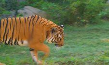 Free Orange Tiger Walking Royalty Free Stock Photo - 7969645