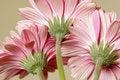 Free Pink Gerbera Daisies Stock Photos - 7972143