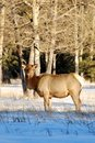 Free Elks On The Snow Royalty Free Stock Photo - 7972965