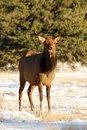 Free Elk On The Snow Royalty Free Stock Photos - 7972978