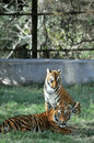 Free Tiger Cubs Royalty Free Stock Photography - 7978867