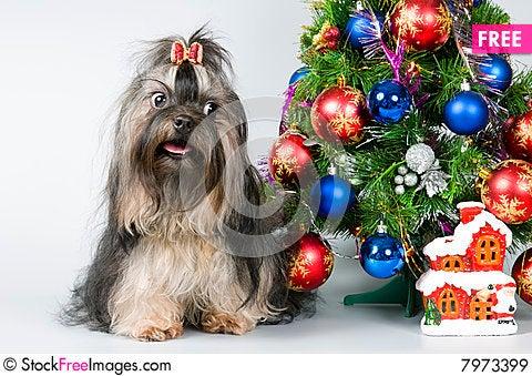 Free Lap-dog In Studio Royalty Free Stock Images - 7973399