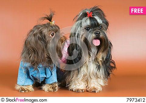Free Lap-dog In Studio Stock Photography - 7973412
