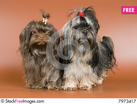 Free Lap-dog In Studio Royalty Free Stock Photography - 7973417