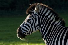 Free Zebra Stock Photo - 7970120
