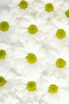 Free Chrysanthemum Stock Photography - 7970302