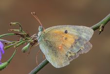 Free Autumn Butterfly Sitting On An Old Flower Stock Photography - 7970332