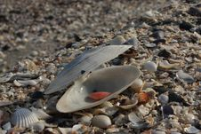 Free Sea Shells Royalty Free Stock Photography - 7970577