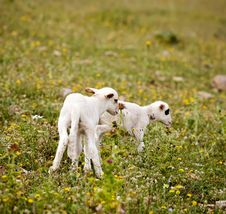 Two Cute Little Lambs On Meadow Royalty Free Stock Photos