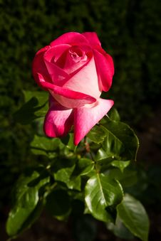 Free Red Rose Over Green Royalty Free Stock Image - 7971156