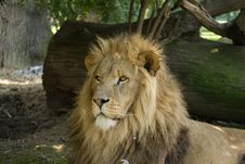 Free Male African Lion Profile Royalty Free Stock Images - 7971199