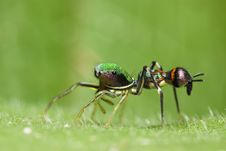 Free Orsima Ichneumon Side View Macro Royalty Free Stock Images - 7971289