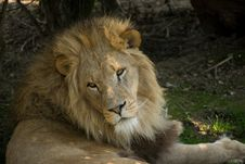 Free Male African Lion Watcing Stock Photo - 7971340
