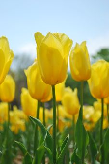 Free Closeup Of Tulips Stock Photography - 7971952