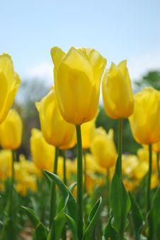 Closeup Of Tulips Stock Photography
