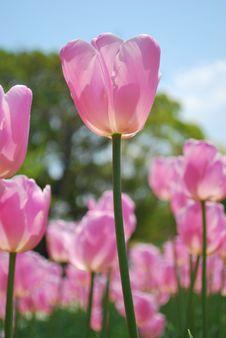Free Closeup Of Tulips Stock Photos - 7971953