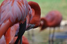 Free Pink Flamingo Royalty Free Stock Images - 7972139