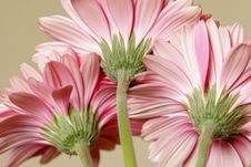 Free Pink Gerbera Daisies Stock Photos - 7972143