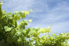 Free Vineyard Background Royalty Free Stock Images - 7972849
