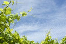 Free Vineyard Background Royalty Free Stock Photo - 7972855