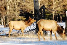 Free Elks On The Snow Royalty Free Stock Photography - 7972957
