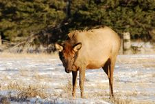 Free Elk On The Snow Royalty Free Stock Photography - 7973017