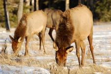 Free Elks On The Snow Stock Images - 7973034