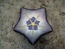Free Very Unusual Pillow Sea Star Stock Image - 7973081