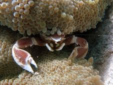 Crab In Anemone Stock Images
