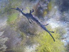 Free Weedy Sea Dragon Royalty Free Stock Photography - 7973097