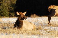 Free Elk On The Snow Stock Photo - 7973120