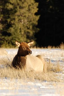 Free Elk On The Snow Royalty Free Stock Images - 7973239