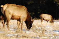 Free Elks On The Snow Royalty Free Stock Image - 7973256
