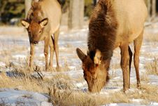 Free Elks On The Snow Stock Photography - 7973522